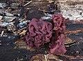 Ascocoryne sarcoides fleischroter gallertbecher.jpg