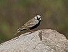 Ashy-crowned Sparrow Lark (Eremopterix grisea)- Male in Hyderabad, AP W IMG 8065.jpg