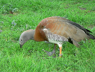 Sheldgoose - Image: Ashy headed Goose Chloephaga poliocephala 0505014
