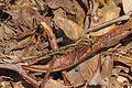 Ashy Clubtail - Gomphus lividus, Meadowood Farm SRMA, Mason Neck, Virginia - 26603400826.jpg