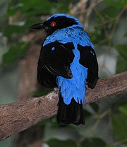 Asian Fairy Bluebird Image 001.jpg