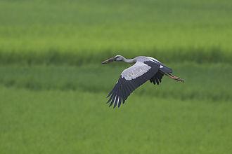 Asian openbill - In flight over marsh habitat
