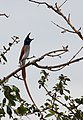 Asian Paradise-flycatcher (Male).jpg