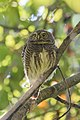 Asian barred owlet (Glaucidium cuculoides) 28.jpg