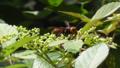 Asian giant hornet (Vespa mandarinia).png