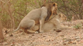 Asiatic Lion Mating 001.png