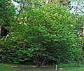 Asimina triloba (pawpaw tree) 1 (39451806582).jpg