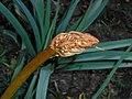 Asphodelus ramosus 2016-04-17 7459.jpg