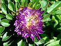 Asteroideae Sommeraster lila.jpg
