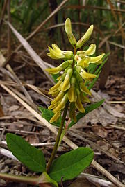 Astragalus glycyphyllos Eestis