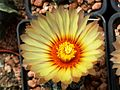 Astrophytum flower 331.jpg