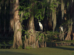 Egrets in the Atchafalaya Basin