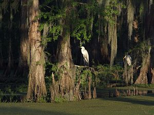 Atchafalaya River - Two egrets on the limbs of a cypress in the Atchafalaya flood basin.