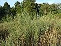 Atriplex oblongifolia sl5.jpg