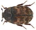 Attagenus civetta (Mulsant & Rey, 1868) female (10308849233).png