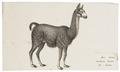 Auchenia lama - 1700-1880 - Print - Iconographia Zoologica - Special Collections University of Amsterdam - UBA01 IZ21600119.tif