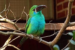 Aulacorhynchus haematopygus -Vogelpark Walsrode-8a.jpg