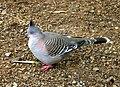Australian Crested Pigeon003.JPG