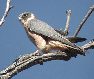 Australian hobby species of falcon