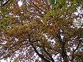 Autumn Oaks (316024876).jpg