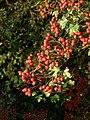 Autumn berries - geograph.org.uk - 999739.jpg