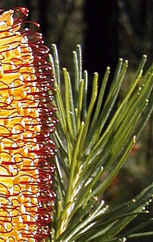 Banksia spinulosa - var. spinulosa, Nowra leaves with serrations near apex only