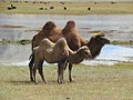 Bactrian Camels (41698790622).jpg