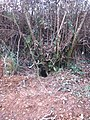 Badger hole in the hedge - geograph.org.uk - 1710576.jpg