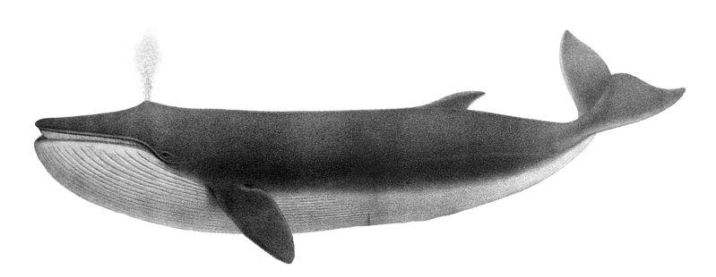 File:Balaenoptera physalus1.jpg