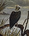 Bald Eagle (Haliaeetus leucocephalus) in art detail, from- Tableau 5 Mouth of Fox River (Indiana) by Karl Bodmer (cropped) (cropped).jpg