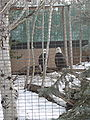 Bald Eagles captive.JPG