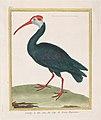 Bald Ibis from the Cape of Good Hope Met DP887748.jpg