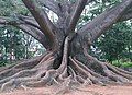 Banyan Tree at Lalbagh in Banglore.jpg