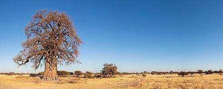 Baobab (Adansonia digitata), parque nacional Makgadikgadi Pans, Botsuana, 2018-07-30, DD 03-08 PAN.jpg