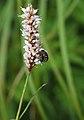 Baris dispilota mating on Bistorta officinalis subsp. japonica.jpg