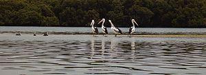 Barker Inlet - Pelicans on mudflats, Barker Inlet