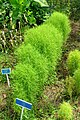 Bassia scoparia - Urban Greening Botanical Garden - Kiba Park - Koto, Tokyo, Japan - DSC05392.jpg