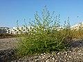 Bassia scoparia subsp. densiflora sl34.jpg