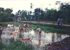 Bihu - Bathing and worshipping cows (Goru bihu) is a part of the Bihu celebrations.
