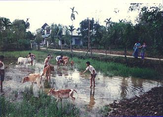 Bihu - Bathing and worshipping cows (Goru bihu) is a part of the Bihu celebrations.