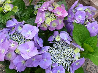 Hydrangea - Hydrangea macrophylla