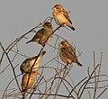 Baya Weaver (Ploceus philippinus) in Hyderabad W IMG 4825.jpg