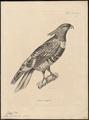 Baza lophotes - 1700-1880 - Print - Iconographia Zoologica - Special Collections University of Amsterdam - UBA01 IZ18200276.tif