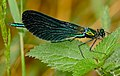 Beautiful Demoiselle (Calopteryx virgo) male (35341211792).jpg
