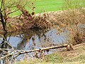 Beaver At Young Danube - panoramio.jpg