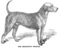 Bedlington Terrier.PNG