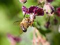 Bee gathering nectar (14114525691).jpg
