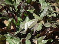 Beet root plant from lalbagh 2330.JPG
