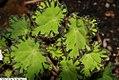 Begonia Baby Perfection 1zz.jpg