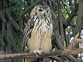 Bengal Eagle Owl RWD.jpg